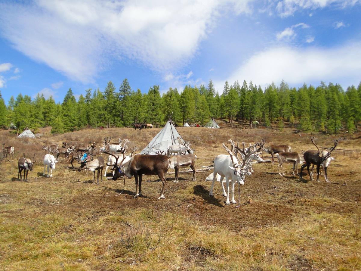Les Tsaatan: le peuple des rennes.